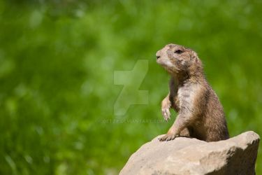 Prairie dog at the watch by oetzy