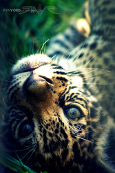 Jaguar Youngling by Rynvord