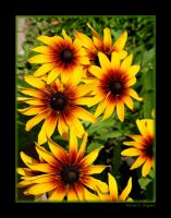 Black Eyed Susans III by David-A-Wagner