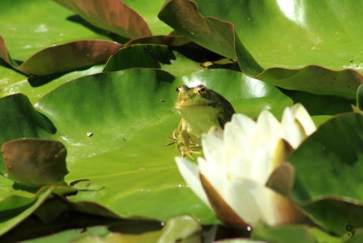 Frog at the pond #11 by sleepingFrog
