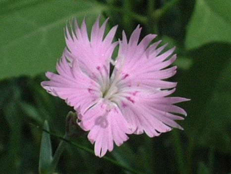 Dianthus Revisited by kitsa-kat
