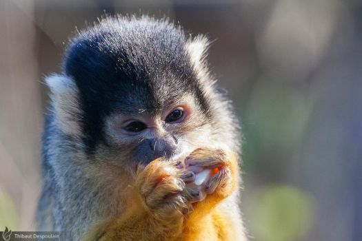 Common squirrel monkey, Amneville zoo by BKcore