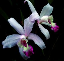 Winter Orchids by ozplasmic