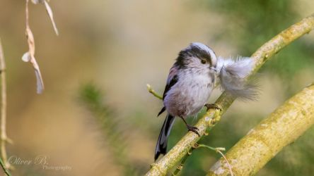 Long-Tailed Tit with Nesting Material (4K WP) by OliverBPhotography