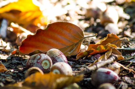 Acorns and beech leaves by Tracuss