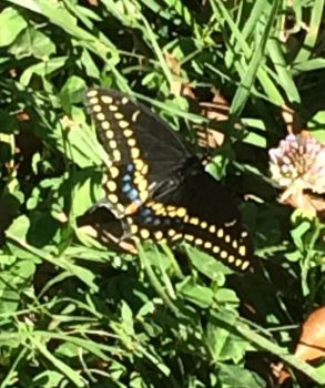 Black Swallowtail by Lbely