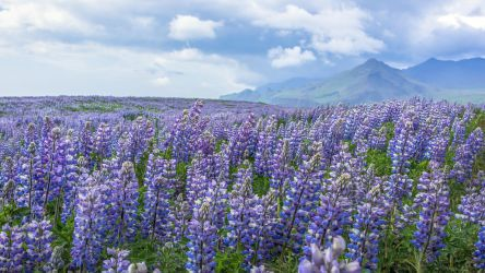 The Alaskan Lupine Shortage is Over by ChrisReach
