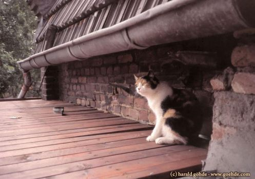 Cat on the roof by ambosshg