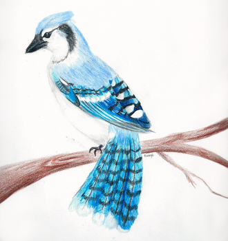 Blue Jay by rooey1