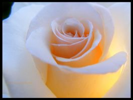 Sun in a Rose by louiecablouie