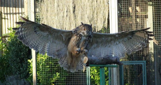 Eagle Owl wings by MixedStock