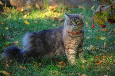 The fighting stance of the Siberian cat Masyanya by Daykiney