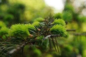 Coniferous Fragrance by Lina-Poe