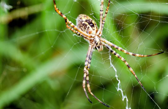 Golden Orb spider by halfhandau