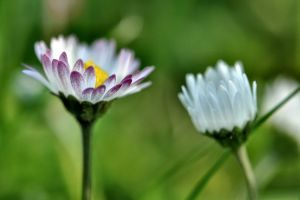 Pair of Daisies by OfTheDunes