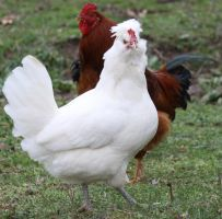 Chickens 2 of 6 Stock by Lovely-DreamCatcher