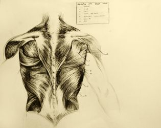 anatomical drawing 03 muscles of the back by niitsvee