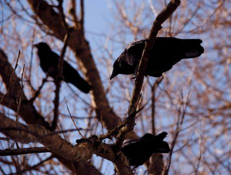 Three crows by laufiend