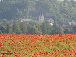 Poppies No. 3 by SymphonicA19