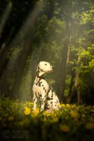 Dalmatian in the woods by Kelshray-photo