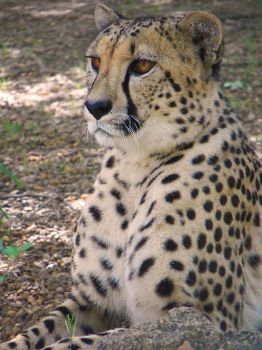 The watchful gaze of the Cheetah by DingoDogPhotography