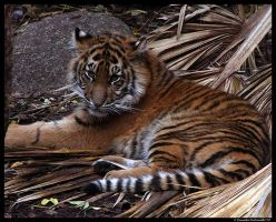 Baby Tiger: Cute face by TVD-Photography
