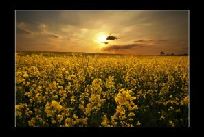 dusk over the rapeseed by theoden06