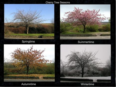 Cherry Tree Seasons by taramara