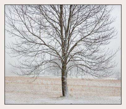 Snow tree. DSCN3898, with story by harrietsfriend