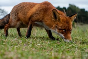 Foxes 7 by DarkDeltaPhoto