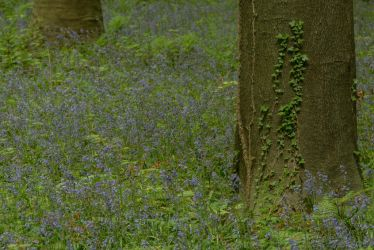 Blue Forest Hallerbos 006 by ISOStock