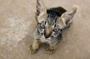cats of cambodia by LunaFeles