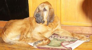 Bloodhound Stock 7 of 11 by Lovely-DreamCatcher