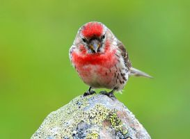 Angry Birds Brother by nordfold