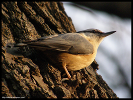 Nuthatch (001) by Sikaris