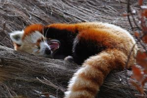 Lazy Red Panda by robbobert