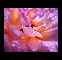 Wet Rose Petals by Callu