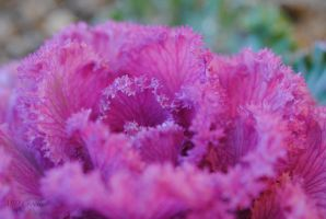 Pink cabbage by ABDCrochet