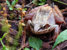 Wood Frog by kaikaku