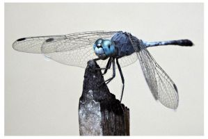 Dragonfly 25 (Blue Skimmer) by kiew1