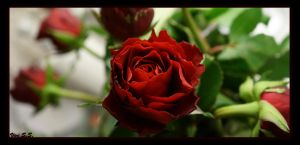 The Rose p.1. by knirket