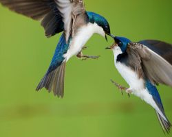 Tree Swallows - The Dispute by JestePhotography