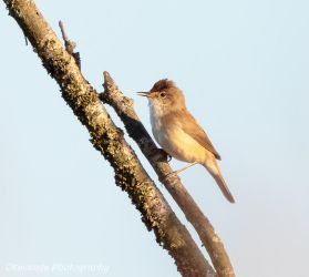 Whitethroat(?) 2 by Okavanga
