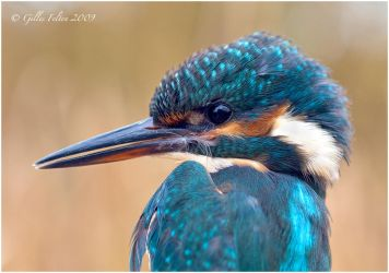 Kingfisher by Swordtemper