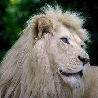 White Lion 1035P by Sooper-Deviant