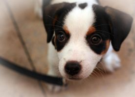 jack russel by tiger1977