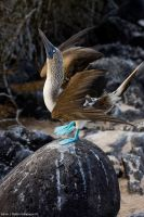 Blue Footed Boobie Courting 1 by photoboy1002001