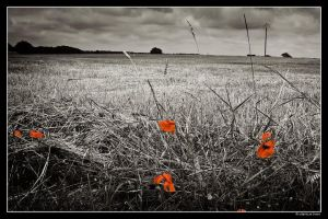 Les coquelicots by dc58