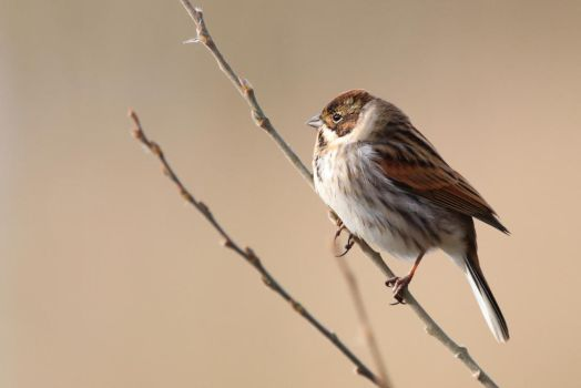 Reed Bunting 1 4-2-18 by pell21