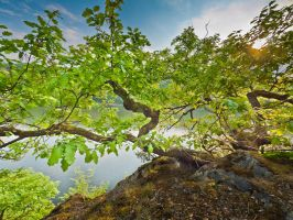 Gnarly oak on a ledge above the Edersee lake by zeitspuren